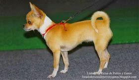 Foto de un perro Chihuahueño de pelo corto en la pasarela de exposiciones. Razas de perro (Photo of a Chihuahua dog of short hair on the catwalk of exhibitions. Breeds of dog)
