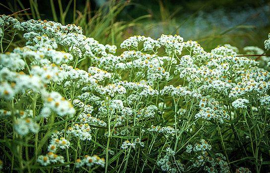 Art Calapatia - Wild Flowers of Washington State
