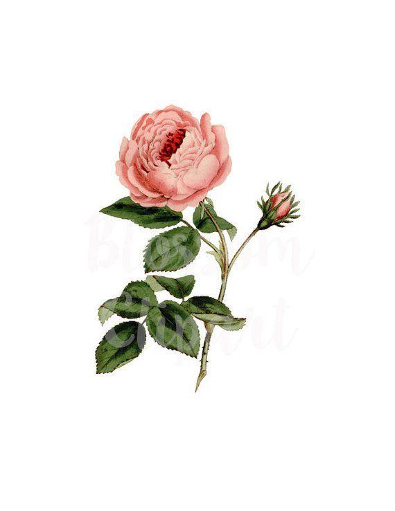 Vintage Rose Clip Art Flower Png Clip Art For Invitations Etsy Vintage Roses Rose Illustration Clip Art