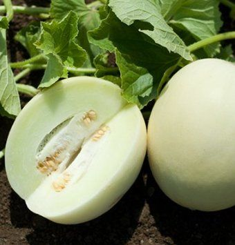 Honey White Melons are early and cool weather tolerant. Smooth, round to oval-round fruits are very sweet, flavorful, and slow to crack even in cool, cloudy weather.