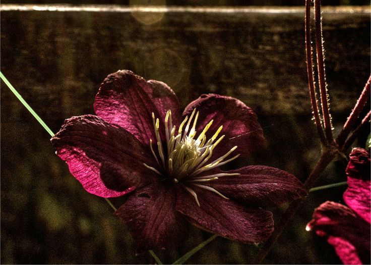 Photograph Dark Red Clematis Blossom by James Mann on 500px