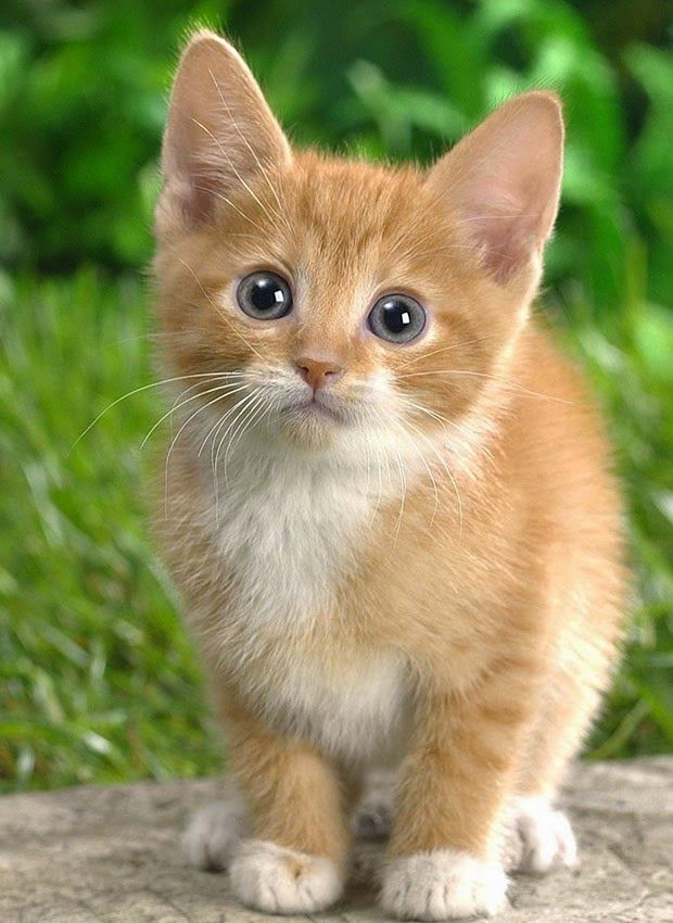cute butterscotch kitten
