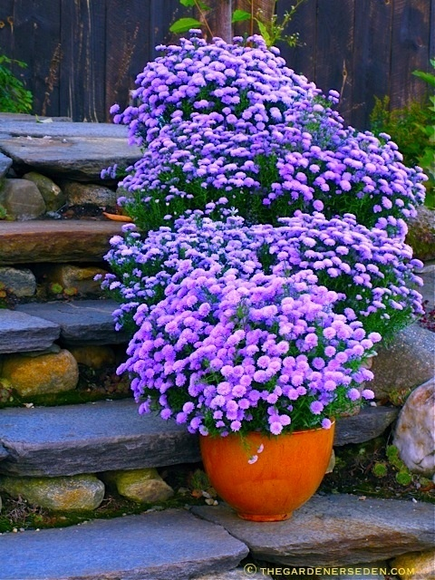 Swathes of one color making a bold statement. Asters. Garden. Purple flowers. Container garden. Front Entrance. Perennial Flowers.