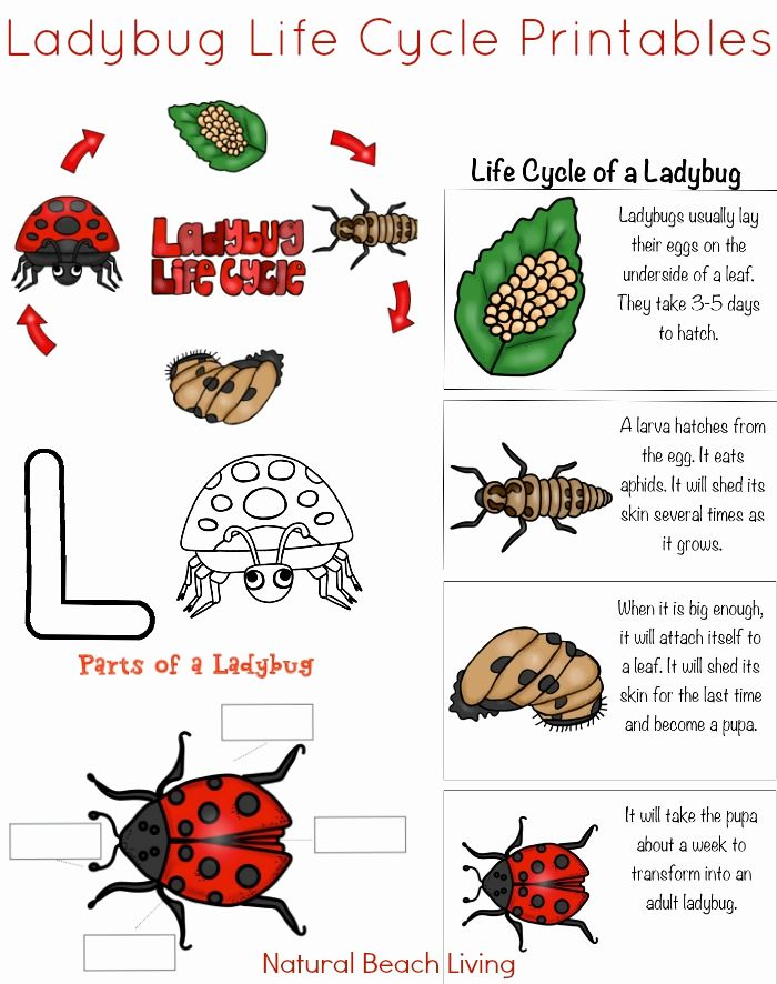 Animal Life Cycle Coloring Pages Elegant Ladybug Life Cycle Lesson Plans And Activities In 2020 Ladybug Life Cycle Activities Ladybug Life Cycle Life Cycles Activities