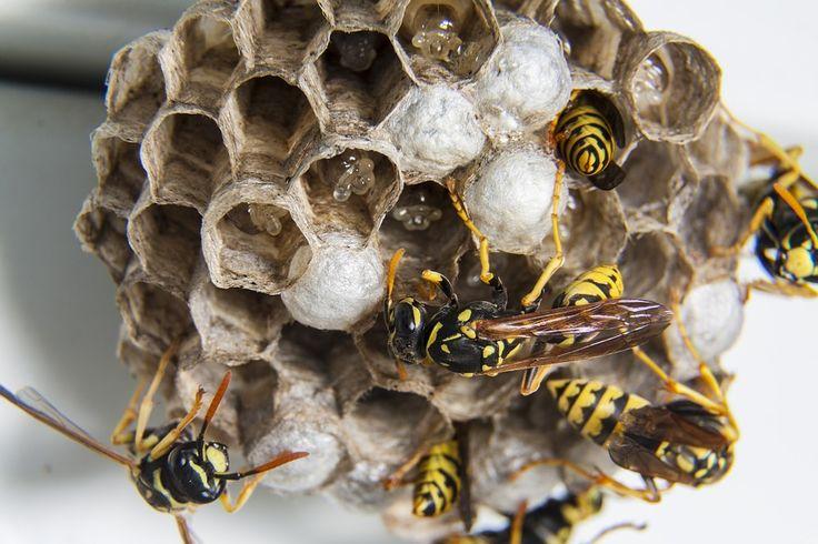 Dankzij dít simpele trucje voorkom je dat wespen een nest bouwen