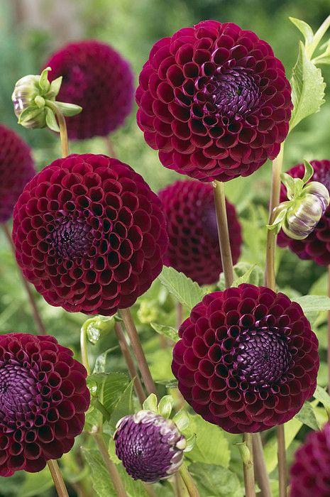 ~~Dahlia Downham Royal   a rich royal burgundy purple miniature ball dahlia   by VisionsPictures~~