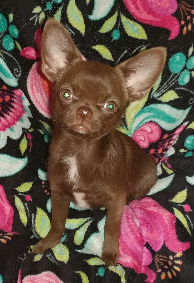 What A Cute Little Chocolate Drop 3 Baby Animals Chihuahua