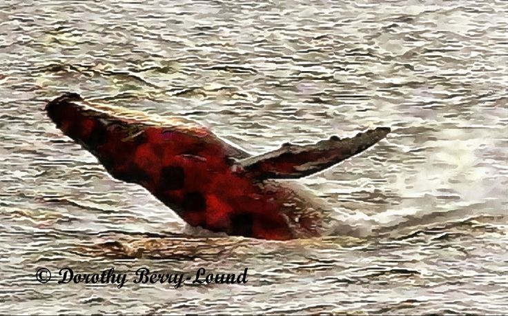 Click on the picture to read the blog. Memories of a whale watching trip off the coast of Massachusetts a very long time ago - the wonder and the sea sickness of it all. #humpbacks #whales #blogpost
