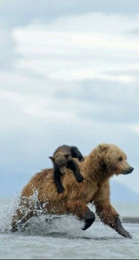 """Mom Bear: """"Hold on 'Junior' I'm taking you out of harm's way!"""""""