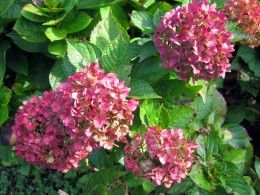 Hydrangea Varieties That Will Bloom in the North