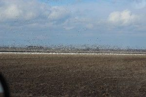 The snow goose migration is on!