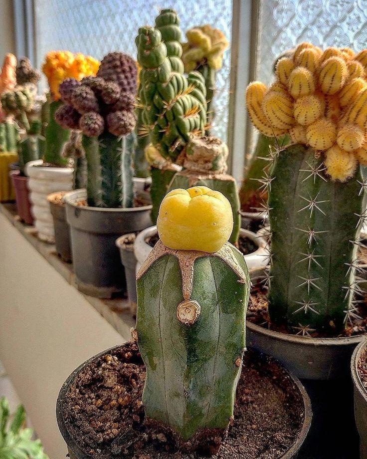 Cactus Flower Benefits Cactusflower Cactus Grafted Cactus Cactus Plants