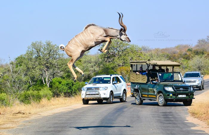 A photographer is lucky to capture these photos of a leaping kudu in the Kruger National Park.