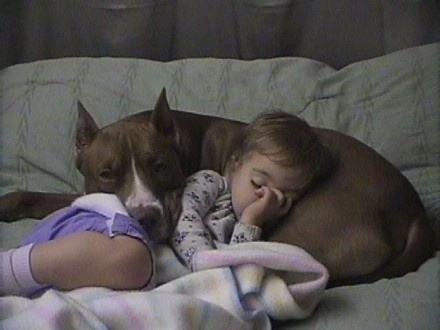 Pitbulls scored above 121 other dogs in terms of temperament (yup, above Golden Retrievers!).  Maybe this is why they used to be called nanny dogs