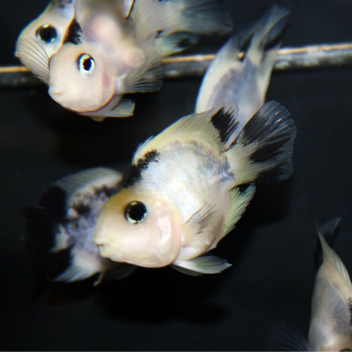 Panda parrot to be mouths and cichlids for Parrot fish freshwater