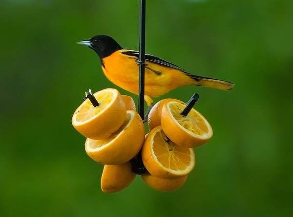 Erva spike orange or suet feeder