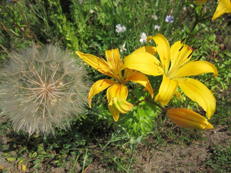 Лилия, LА Гибриды, Serrada. ЛА-гибриды  - самые неприхотливые лилии, доказавшие свою беспроблемность выращивания даже в регионах с очень холодной зимой. Лилии азиатские идеально подходят для начинающих цветоводов. Не имеют запаха, что очень важно для людей, страдающих аллергическими реакциями. Устойчивы к болезням и вредителям. Легко размножаются.