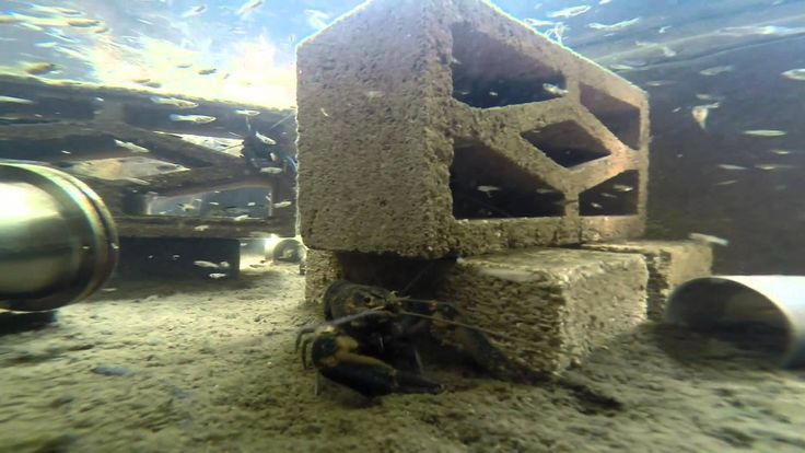 This is my mini backyard lobster farm with aquaponic natural filtration.