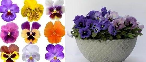 Stemor - vårens favoritt! | Hageland.no