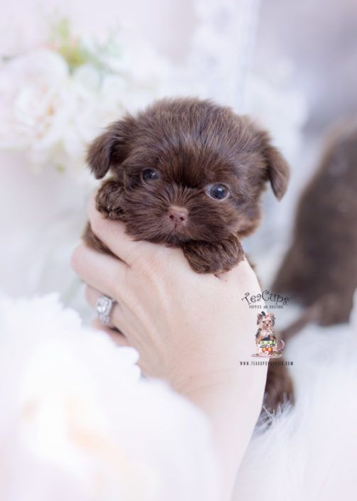 Chocolate Shih Tzu Puppy For Sale Teacup Puppies A In 2020 Teacup Puppies Teacup Puppies Maltese Teacup Puppies For Sale