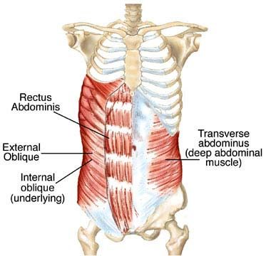12 best images about animal a&p :: muscular system on pinterest, Muscles