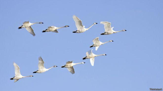 bandada de gansos migratorios
