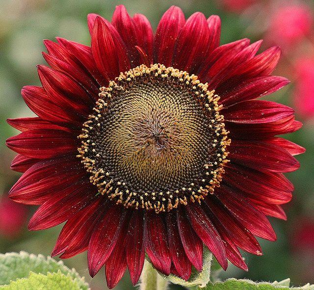 red sunflower | much Love. | Pinterest