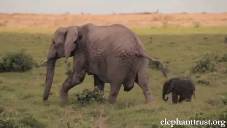 Elephant Baby-Mother love will make U cry. Being a mother is not easy whether you're a human or otherwise. But animals are now facing the greatest risks. It should not be so!  It's nice to see people helping rather than destroying them. Good on you!