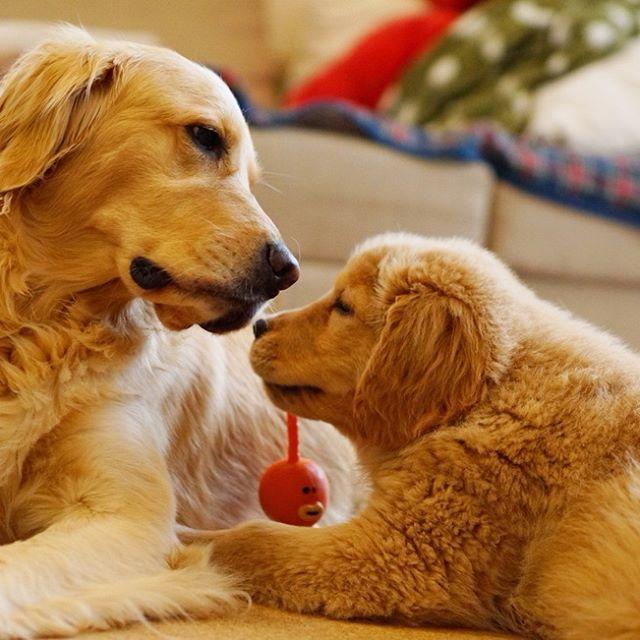 なんだか親子みたい❤️ * #ilovegolden_retrievers #pets_perfection #my_loving_pet #dogs_of_instagram #golden_retrieverlovers #pupdoggydog #meowvswoof #bestwoof #dog_features #dogsofinstagram #ilovemydog #puppytales #instagramdogs #dogstagram #nature_cuties #FurrendsUpClose #goldens_ofinstagram #igclub_dogs #gloriousgoldens #instadog #goldenretriever #puppytrip #retrieversgram #welovegoldens #Excellent_Dogs #amazing_picturez_animals #FUNPETLOVECLUB #cutepetclub #bestfriends_dogs #Excellent_Puppies