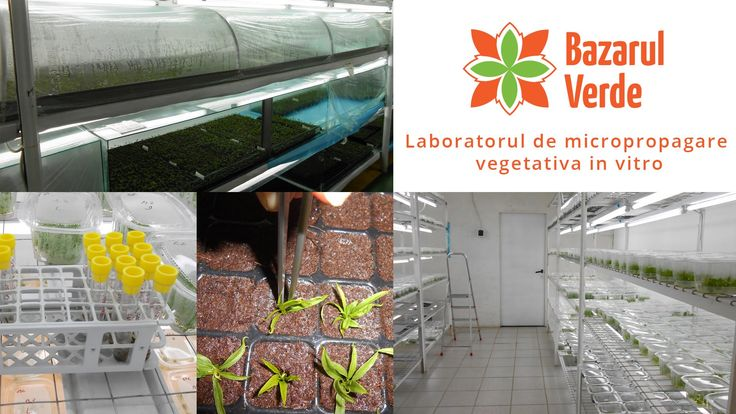 Enjoy our videoclip about our micropropagation  in vitro laboratory.