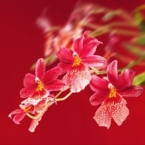 Orchidée Cambria Burrageara Nelly isler 2 tiges