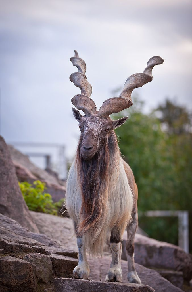 I do not know what kind of goat this is, but it is a wild goat I do believe... awesome horns