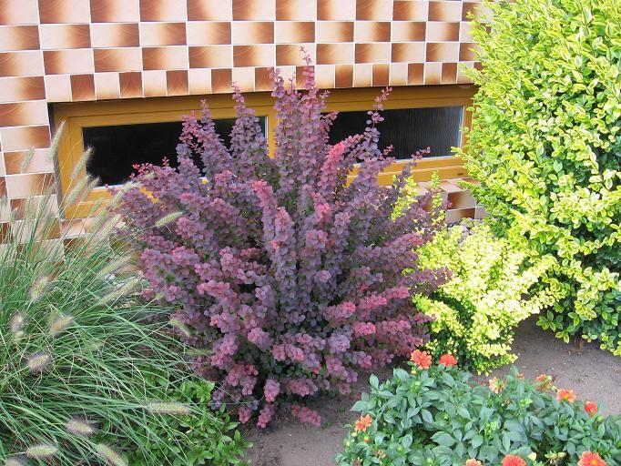 Лиственные кустарники Барбарис Тунберга «Atropurpurea» по разумной цене - Зеленый сад