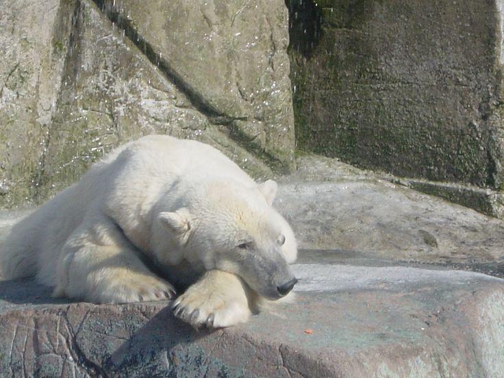 Isbjørn i København Dyrepark. Poolarbear in Copenhagen Zoo.