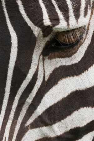 Side View of a Plains Zebra Head, with the Eye Open. Ngorongoro Conservation Area, Tanzania Photographic Print at AllPosters.com