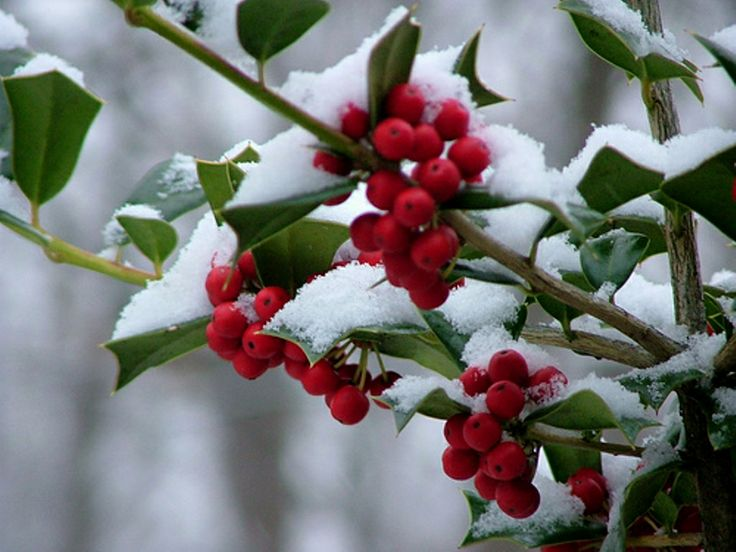 Snow on Holly Berries