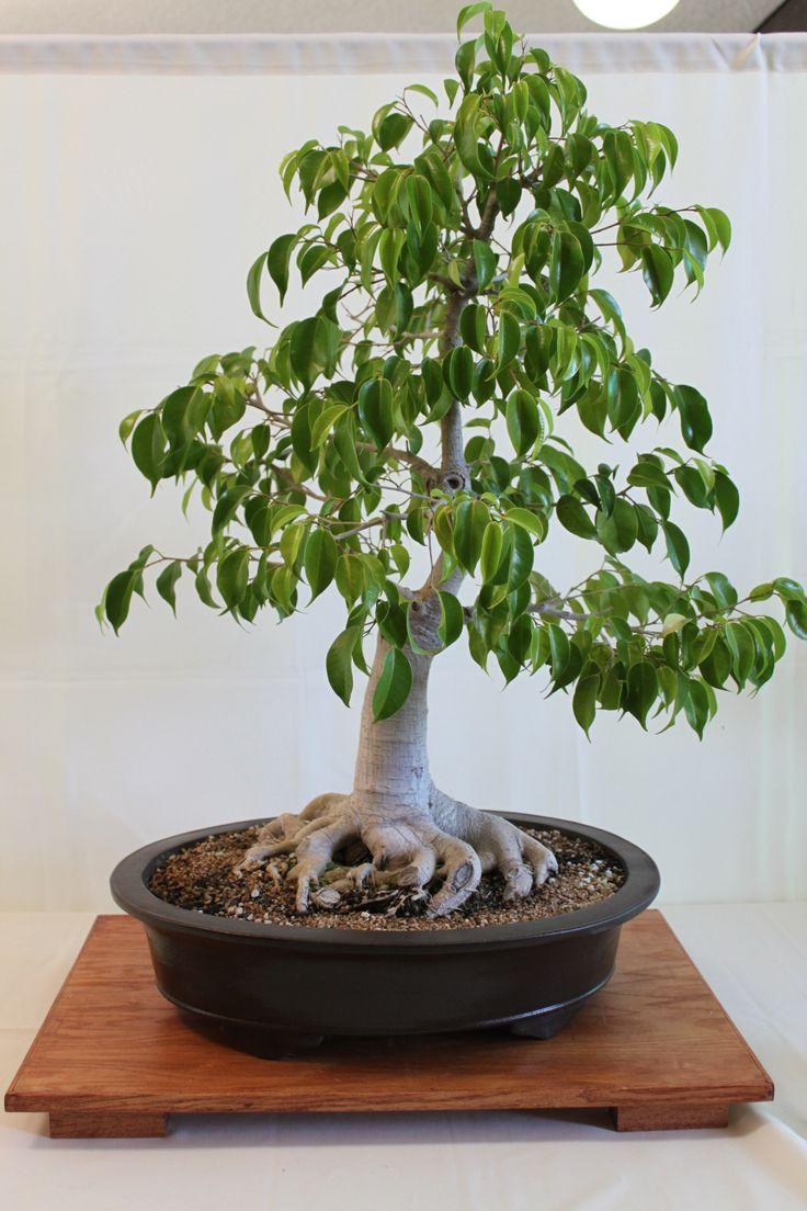 25 best ideas about bonsai ficus on pinterest. Black Bedroom Furniture Sets. Home Design Ideas
