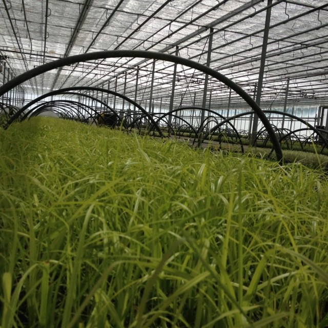 Young plants of Carex Everillo in propagation house, fantastic hardy new foliage plant.