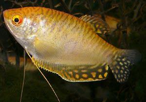 Aquarium fish Family Labyrinth(Belontiidae): Betta, Gourami(Trichopsis), Macropodus...: Gold gourami (Trichogaster trichopterus sumatranus var. Gold). Family: Labyrinth (Belontiidae)