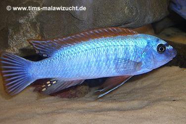 """Labeotropheus trewavasae """"Thumbi West"""" Männchen"""