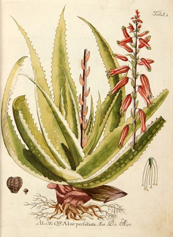 The name Aloe was derived from the Arabic alloeh meaning 'bitter' because of the bitter liquid found in the leaves. It is also known as 'lily of the desert', the 'plant of immortality', and the 'medicine plant'. The Spanish carried Aloe From Europe to the New World in South America and the Caribbean. Aloe barbadensis was introduced to the West Indies at the beginning of the 16th century.