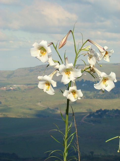 Sint Joseph's lilies can been seen all over Graskop in February and March. Photograph by Gerda van den Bos