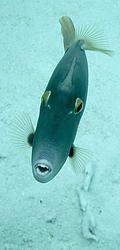 Barred filefish ハクセイハギ(GUAM, America)