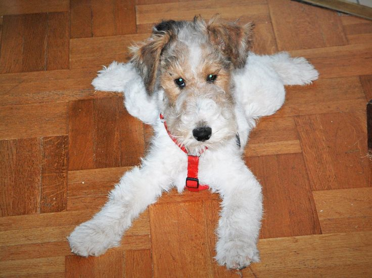 Cute wire fox terrier pup