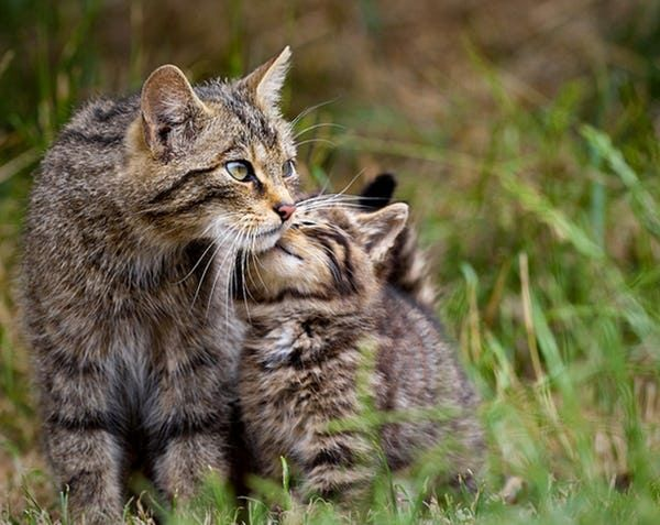 Photos Of Cats With Their Kittens That Ll Make You Say Aww Mama Cat Wild Cats Cuddly Animals