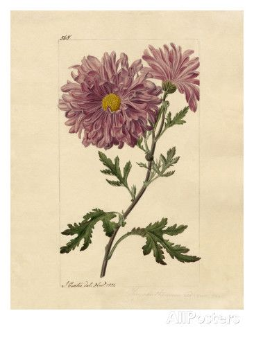Chrysanthemum indicum Giclee Print by John Curtis - AllPosters.co.uk