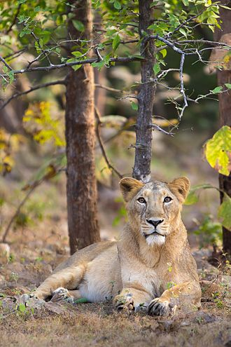 Asiatic lion-female.  The Asiatic lion (Panthera leo persica), also known as the Indian lion and Persian lion,[3][4] is a lion subspecies that lives as a single population in Gujarat, India. It is listed as Endangered on the IUCN Red List because of its small population size.  Wikipedia