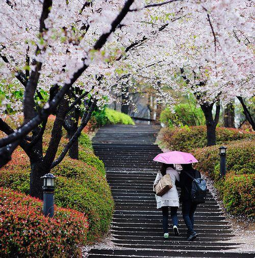 Korea University, South Korea - Couple walking under cherry blossom tunnel in a rainy day by BiMim on Flickr.