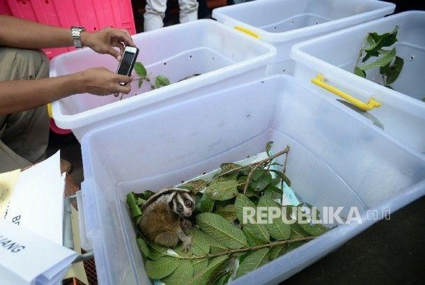 Kukang Hasil Sitaan Jalani Rehabilitasi di Kaki Gunung Salak - Republika Online