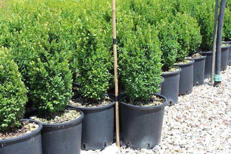 Vendita piante on line - Buxus Pumila Nano - Bosso -